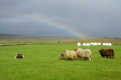 Sheeps under strong wind and rainbow in highlands Stock Photos