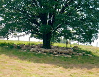 Sheeps under the tree Stock Photos