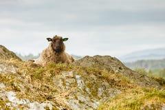 Sheeps vaggar på kullen Arkivbilder