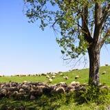 Sheeps van Transsylvanië royalty-vrije stock afbeelding