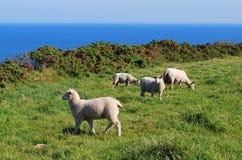 Sheeps vid havet Arkivbild