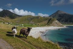 Sheeps with view from hill to the blue see with view to mountains in the Norway at summer time royalty free stock photo