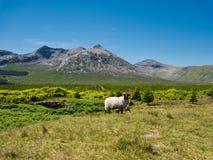 Sheeps voor een groen landschap in Ierland stock afbeeldingen