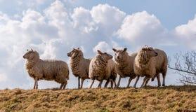 Sheeps w akci po niebezpieczeństwa widzią Obraz Stock