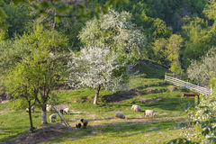 Sheeps w dolinie Fotografia Stock