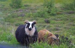 Sheeps w Iceland Obrazy Royalty Free