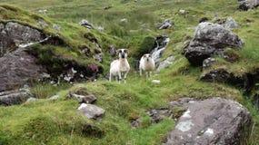Sheeps w ich naturze Zdjęcie Royalty Free