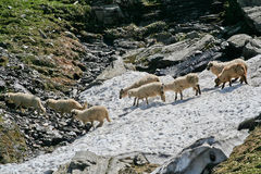 Sheeps w śniegu, Fagaras góry, Rumunia Zdjęcia Royalty Free
