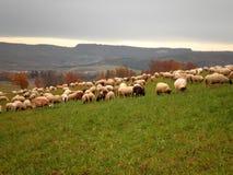 Sheeps w paśniku obrazy royalty free