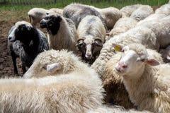 Sheeps w padoku zakończeniu, rolnicza scena Obrazy Stock