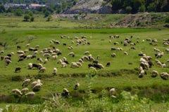 Sheeps w polu fotografia stock