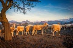 Sheeps w sheepfold przy zmierzchem, górzysty krajobraz fotografia royalty free