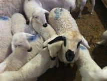Sheeps w stajni obrazy royalty free