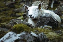Sheeps w vastness Szkocja fotografia royalty free