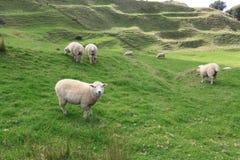 sheeps w zieleniej? pole obrazy stock