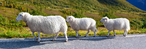 Sheeps walking along road Stock Photos
