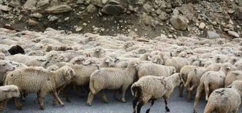 Sheeps walking on mountain road in Kargil, India Royalty Free Stock Photography