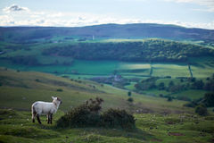 Sheeps on a welsh mountain. A little lamb on top of begwyns wales, radnoshire, powys, uk Stock Images