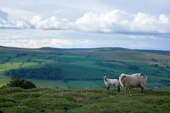 Sheeps on a welsh mountain. A little lamb on top of begwyns wales, radnoshire, powys, uk Royalty Free Stock Photo