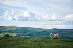 Sheeps on a welsh mountain. A little lamb on top of begwyns wales, radnoshire, powys, uk Royalty Free Stock Photos