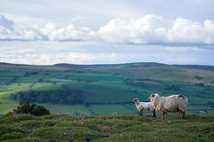 Sheeps on a welsh mountain. A little lamb on top of begwyns wales, radnoshire, powys, uk Stock Photos