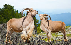Sheeps in wildness area. Standing barbary sheeps in wildness area Stock Photos