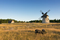 Sheeps, Windmill and Sheepfold, Sweden Stock Images