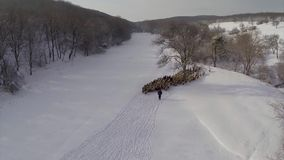 Sheeps in winter aerial stock video