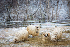 Sheeps in winter looking at the camera.  Stock Photography