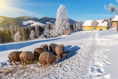 Sheeps, winter, mountain Stock Photos