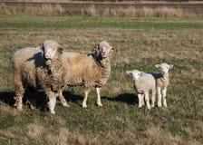 Sheeps y cordero Imágenes de archivo libres de regalías