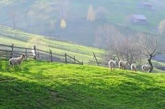 Sheeps y corderos - animales del campo Imágenes de archivo libres de regalías