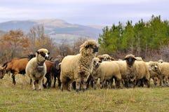 Sheeps z dzwonami w paśniku na górze Zdjęcia Stock