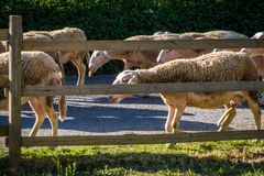 Sheeps za ogrodzeniem Obraz Stock