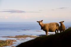 Sheeps in zonsonderganglicht met eilandjes op achtergrond, Lofoten-eilanden, Noorwegen stock afbeelding