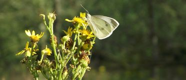 Sheepsbridgehout: Vlinder Stock Foto's
