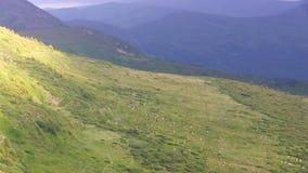 Sheepsgang op heuvels Geschoten op Canon 5D Mark II met Eerste l-Lenzen stock footage