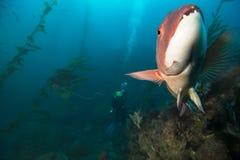 Sheepshead with Diver and Kelp. Sheepshead explores divers at anacapa island royalty free stock photos