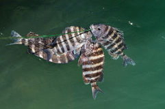 Sheepshead fish Archosargus probatocephalus Stock Photography