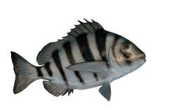 Sheepshead fish Royalty Free Stock Photos