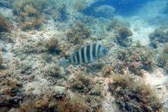 Sheepshead fish swimming in the ocean stock images