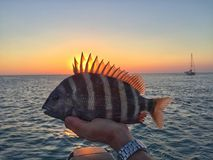 Sheepshead. Fishing for sheepshead fish stock photography