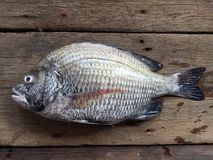 The sheepshead, scup, and red/black seabream, Pagrus major royalty free stock photo