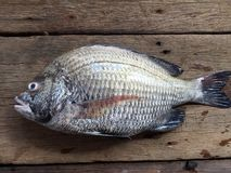 The sheepshead, scup, and red/black seabream, Pagrus major.  stock image