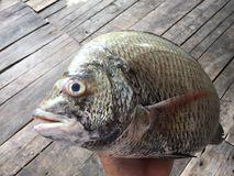 The sheepshead, scup, and red/black seabream, Pagrus major Stock Image