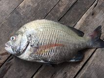 The sheepshead, scup, and red/black seabream, Pagrus major Royalty Free Stock Photography