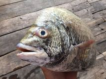 The sheepshead, scup, and red/black seabream, Pagrus major Royalty Free Stock Images