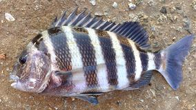 Sheepshead stock image