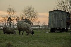 Sheepy Stockbilder
