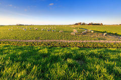 Shees standing in a grassland in Holland Royalty Free Stock Image